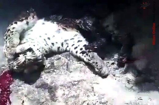 ویدئو ، سوزاندن و کشتار دردناک پلنگ ایرانی